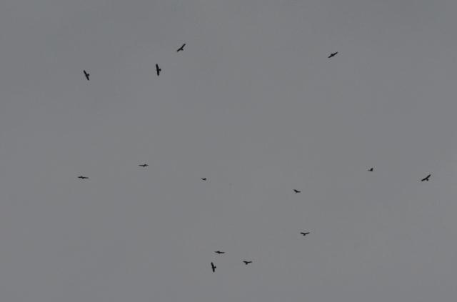 Grupo de 14 aguiluchos laguneros remontando encima del Turó de la Bruguera